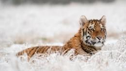 Раненую беременную тигрицу спасают специалисты вПриморье