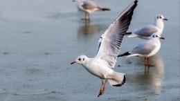 ВПетербурге спасение вмерзшей влед покрылья чайки сняли навидео