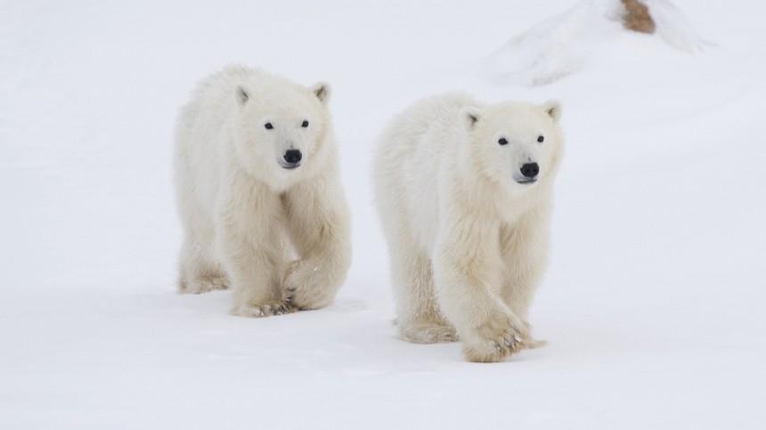 Разбойники сбольшой дороги: стая белых медведей пыталась ограбить самосвал