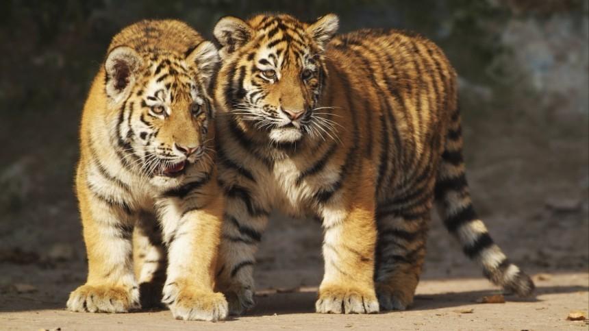 Краснокнижные амурские тигрята стащили фотоловушку ивыступили вроли операторов
