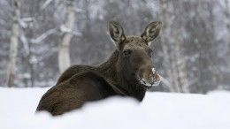 Браконьеры вТверской области жестоко убили беременную лосиху— видео