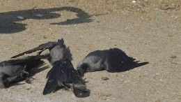 Черноморское побережье усеяно телами мертвых птиц