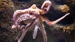 Снимок утащившего фотоаппарат осьминога выиграл международный конкурс
