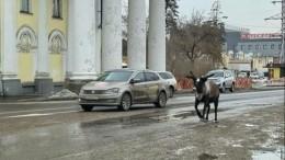 Видео: олень сбежал иззоопарка вАнгарске иперепугал водителей