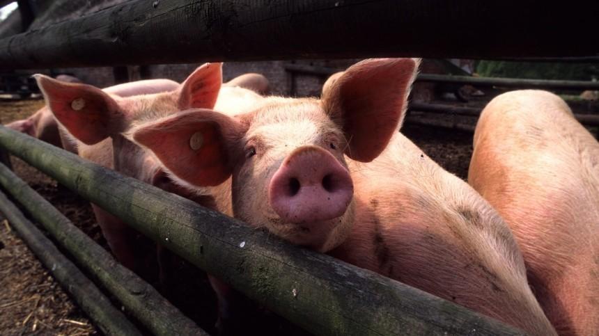 Очаг африканской чумы свиней обнаружили вМагаданской области