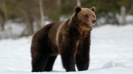 Видео: бросающийся налюдей медведь вогнал вужас жителей Нижневартовска
