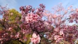 Цветение сакуры вЯпонии бьет рекорды— видео