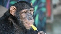 Эволюция продолжается: шимпанзе продает билеты взоопарк Новосибирска