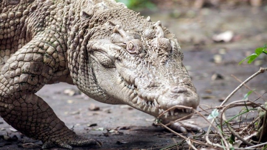 Видео: голодный трехметровый аллигатор спрятался под автомобилем американца