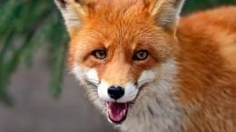 ВСаратове ввели карантин из-за бешенства лисы