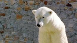 ВЛенинградском зоопарке умерла старейшая белая медведица