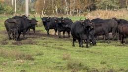 Видео: стадо бизонов устроило побег изФинляндии вРоссию. В27-йраз!