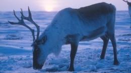 Три сотни мертвых оленей нашли укамчатского села— видео