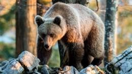 Почему медведи начали «атаковать» российские города исела?