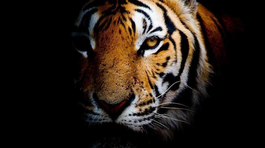 ВСША поймали разгуливающего поулицам тигра, скоторым пытался сбежать убийца