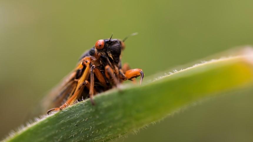 Триллионы цикад, спавших при Обаме иТрампе, захватят восток США при Байдене