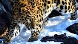 «Оночень активный»: уДимы Билана появился дальневосточный леопард
