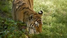 Полосатый рейс: амурский тигр прогулялся поулицам поселка вПриморском крае