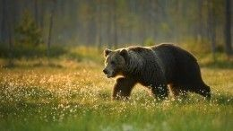 Гуляющий поподмосковному поселку медведь попал навидео