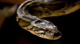 Две огромные змеи приползли вквартиру саратовчанки потрубам— видео
