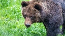 Пришли полакомиться: медведица смедвежатами помешали камчатскому рыбаку