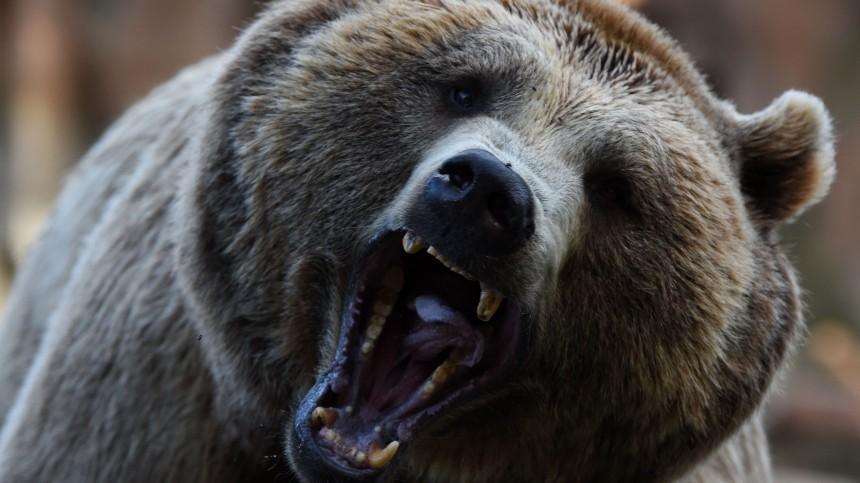 Голодный медведь загрыз ребенка ипокалечил мужчину вКрасноярском крае