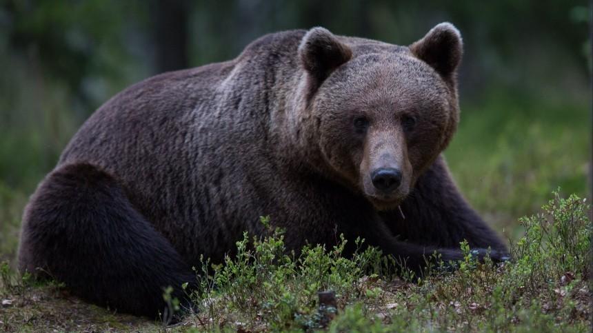 Загрызший подростка медведь под Красноярском мог выслеживать группу