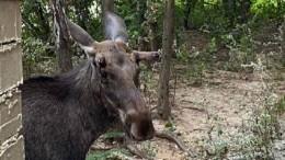 Видео: семейство лосей устроило «пьяный дебош» вЗеленограде