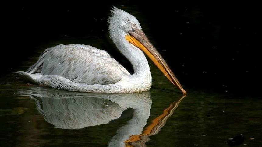Массовая гибель краснокнижных пеликанов началась вТюменской области