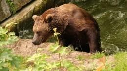 Жителей города Назарово вКрасноярском крае терроризируют медведи