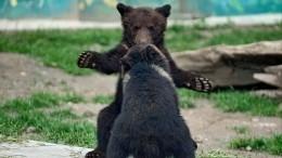 Ямальские медвежата устроили поединок посреди дороги