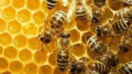 Неправильный мед: вПодмосковье ожидают нашествия пьяных пчел