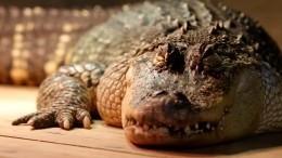 Реслинг скрокодилом: мужчина украл изпарка аллигатора иподрался сним