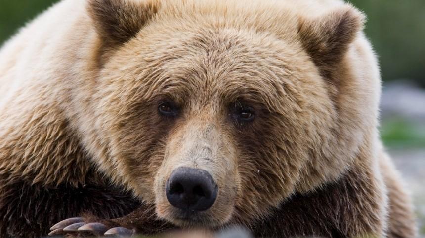Охота налюдей? Почему хищники все чаще выходят клюдям— репортаж