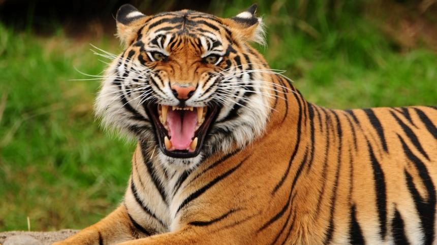 Потерявшая котят амурская тигрица вернулась втайгу вПриморье