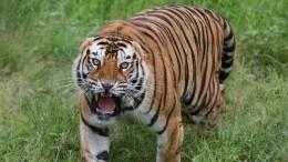 Возвращение амурской тигрицы вдикую природу сняли навидео