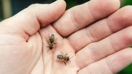 ВАнапе пасечник разобрал пчелиное гнездо голыми руками