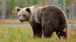 Медведь впоисках еды пришел водин изжилых кварталов Адлера