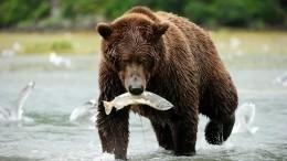 Экологи сообщили обаномальном скоплении голодных медведей наСахалине