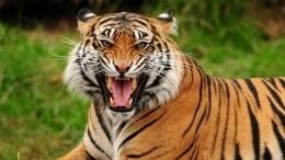 Напавшего навышедшего втуалет мужчину амурского тигра застрелили под Хабаровском