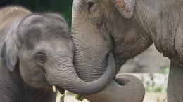 Раем для слонов стала Шри-Ланка после принятия нового закона