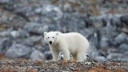 Медведя-альбиноса сняли навидео туристы наКамчатке
