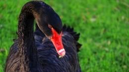 Черный лебедь наглавной площади Пекина напугал жителей китайской столицы