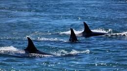 Небывалая бойня наФарерах: охотники убили полторы тысячи дельфинов