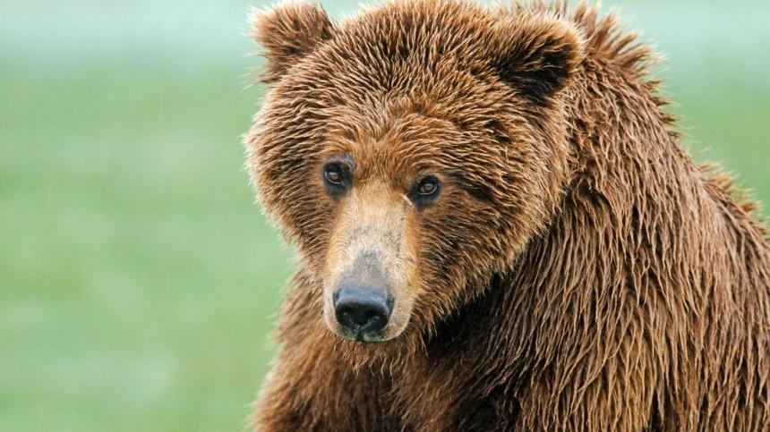Медведь разорвал палатки туристов вкемпинге вКрасной поляне вСочи