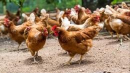 ВРоссии запретили разводить куриц насадовых участках