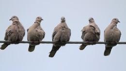 Странная походка ивялость: голуби Петербурга могут вызвать учеловека опасную болезнь