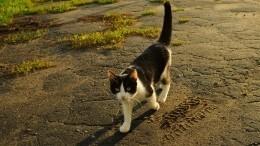 Пушистые приметы: как узнать свое будущее поцвету перебегающей дорогу кошки