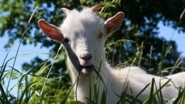 ВСША начали использовать коз для спасения отпожаров. Это приведет кновой беде