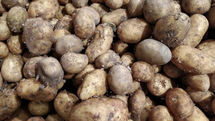 Ядовитые клубни: Мясников рассказал, как можно отравиться картошкой